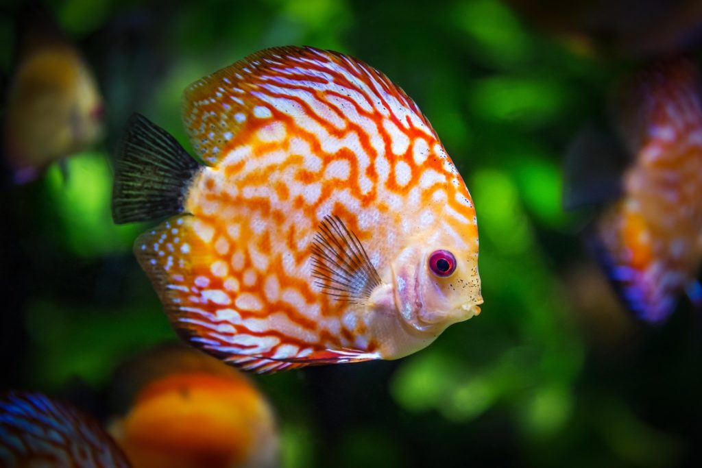orange, red and white tropical fish